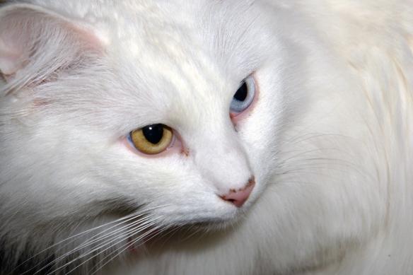 bigstock-Portrait-Of-Turkish-Angora-Cat-1252050