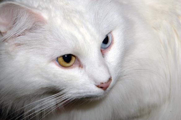 bigstock-Portrait-Of-Turkish-Angora-Cat-1252050