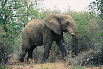 Elephant 208A