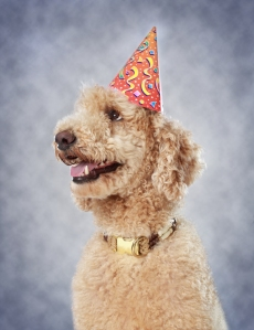 cute poodle dog wearing party hat