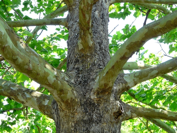A close-up look at the trunk and bark of an American Sycamore tree. The result of shedding its bark for new growth is said to resemble camouflage.
