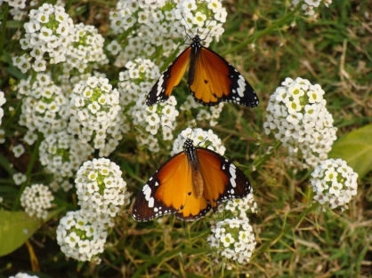 Two butterflies on flowering white blooms
