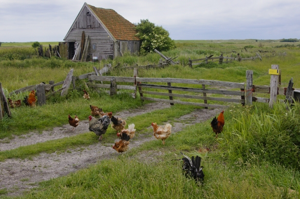Old farmshouse with free walking chickens  in rural surroundings