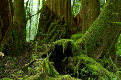 Dense forest with moss-covered trees