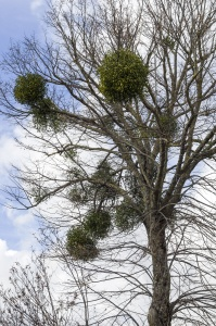 particular tree bare of white poplar and shrubs in the branches of mistletoe