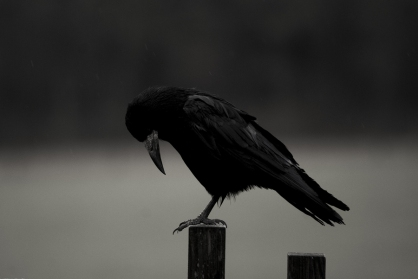 A solitary crow on a post bows its head