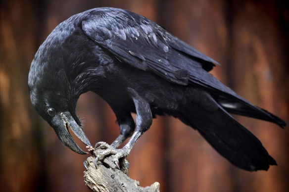 Raven sitting on a thin stump of wood, head bent to claws