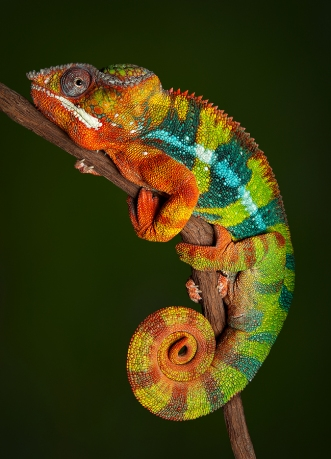 A panther chameleon resting on a tree branch at night, displaying his colors