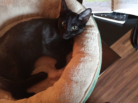 Close up of a cute black cat in a circular bed