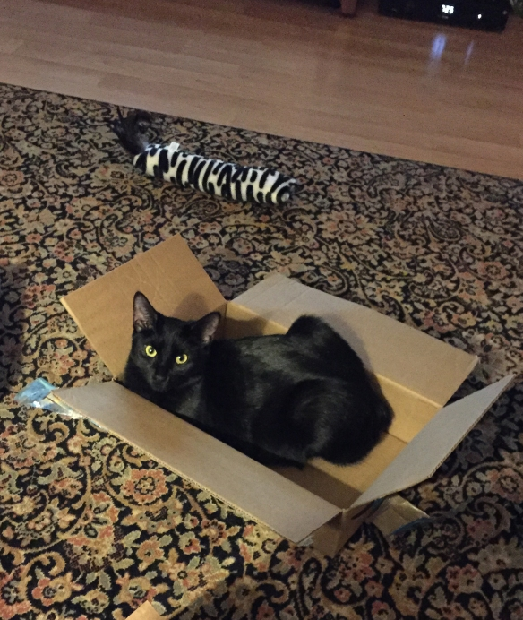beautiful black cat with a glossy coat nestled in an open cardboard box