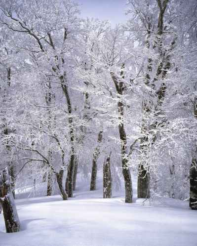 cluster of trees covered with snow