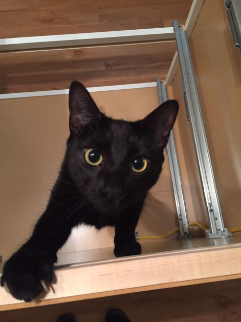 Cute black cat looks into camera from unfinished cabinet section