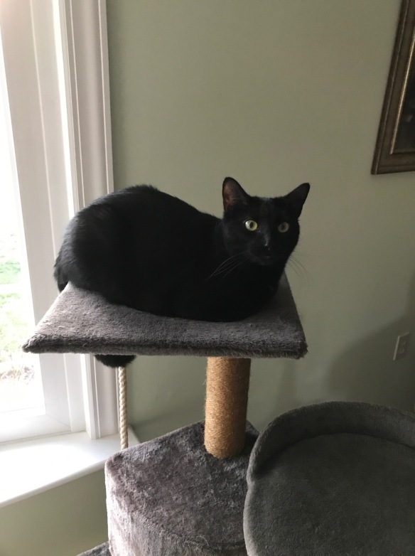 pretty black cat on a gray cat tree