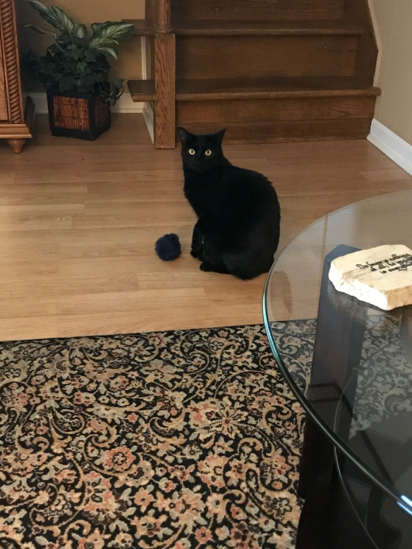 Black cat in sitting pose looking at camera with a puff toy in front of her