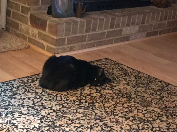 Cute black cat curled up on rug looking at camera