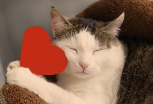 cat with closed eyes snuggles with a paper red heart