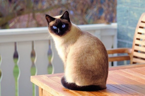 Pretty Siamese cat