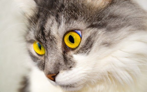 Close up of cat, big gold eyes