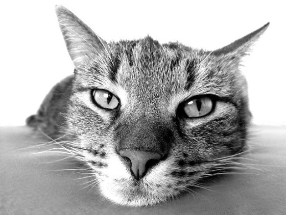 black and white close up of a cat's face, melancholy look