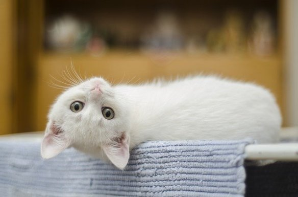 white cat lying on back with head tilted back looking at camera