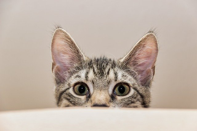 Cute tabby cat peeking over a rim